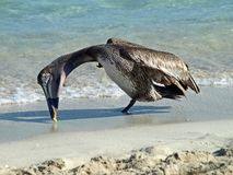 American brown Pelican Pelecanus occidentalis is a North American bird of the pelican family. The smallest of the pelicans. The length of his body does not royalty free stock photo