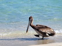 American brown Pelican Pelecanus occidentalis is a North American bird of the pelican family. The smallest of the pelicans stock photos