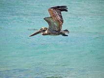 American brown Pelican Pelecanus occidentalis is a North American bird of the pelican family. The smallest of the pelicans stock image