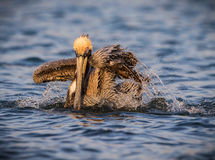 American brown pelican splashes while bathing Stock Photo