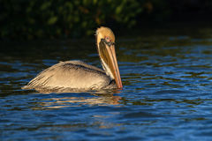 American brown pelican swimming Royalty Free Stock Photo