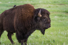 American bufalo. Large adult male american buffalo or bison standing on the green prairie grass Royalty Free Stock Images