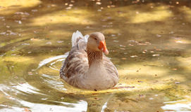 American buff goose Anser anser domesticus. Is a rare breed of goose used for meat and eggs royalty free stock images