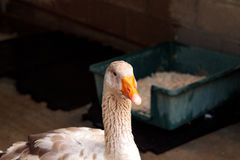 American buff goose Anser anser domesticus. Is a rare breed of goose used for meat and eggs stock images