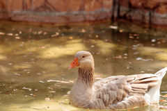 American buff goose Anser anser domesticus. Is a rare breed of goose used for meat and eggs stock photo