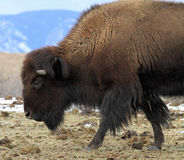 American Buffalo Royalty Free Stock Photo