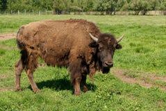 American buffalo (bison) Stock Image