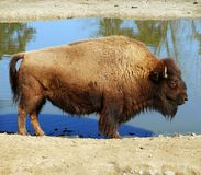 American buffalo - Bison bison Royalty Free Stock Images