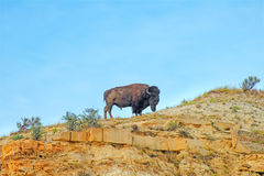 American Buffalo, Bison, Bull, Nature royalty free stock images