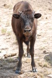 American Buffalo Bison Calf. A bison calf stands square in the middle of the image, looking at the viewer Royalty Free Stock Photo