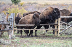 American Buffalo. American Bison roaming in Wyoming. Almost thousand animals reside in Grand Teton Stock Photo