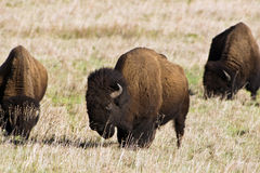 American Buffalo or bison. Three American buffalo or bison grazing on an open prairie Royalty Free Stock Image
