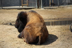 American buffalo. In captivity viewed from the rear Stock Photo