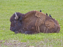 American Buffalo and Cowbirds in Yellowstone Stock Photography