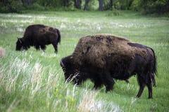 American Buffalo in Custer State Park. In South Dakota in the Spring stock photo