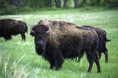 American Buffalo in Custer State Park. In South Dakota in the Spring stock photos