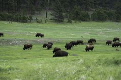 Herd of American Buffalo in Custer State Park. American Buffalo in Custer State Park in South Dakota in the Spring royalty free stock image