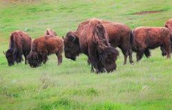 American Buffalo Stock Image