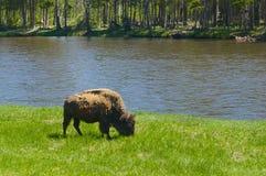 American Buffalo Grazes Royalty Free Stock Image