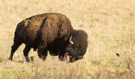 American Buffalo. Buffalo on the great plains royalty free stock images
