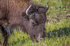 American Buffalo. Head shot of grazing Buffalo in Yellowstone NP royalty free stock photos