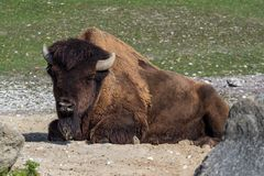 American buffalo known as bison, Bos bison in the zoo royalty free stock images