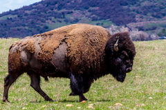 The American Buffalo, Living on the Range in Oklahoma. Royalty Free Stock Photos