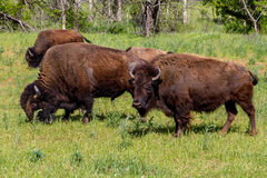 The American Buffalo, Living on the Range in Oklahoma. Royalty Free Stock Images