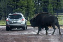 American buffalo near the car Royalty Free Stock Photo
