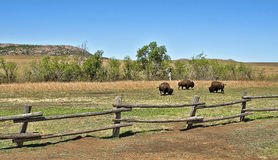 American Buffalo. Royalty Free Stock Photography