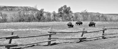 American Buffalo Stock Photos