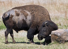 American Buffalo on the Oklahoma grasslands. Royalty Free Stock Image