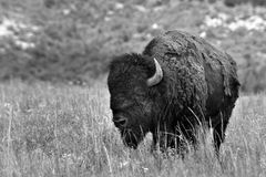 American Buffalo. Stock Photography