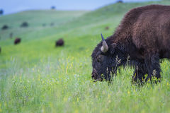 American Buffalo Stock Photos