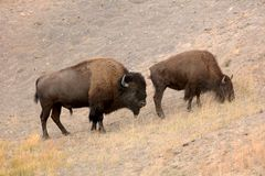 American buffalo ,wyoming national state park yellowstone. American bison Bison bison in Yellowstone national state park .Nature scene from Wyoming stock photo