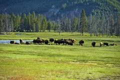 American Buffalo in Yellowstone Stock Images