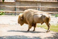 American buffalo in zoo Stock Photo