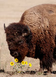 American Buffelo. This photo was taken at Badlands National Park in South Dakota of a Bison smelling flowers while grazing in a field Stock Photo