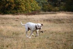 American bulldog and a ball. American buldog chasing a ball Stock Photos