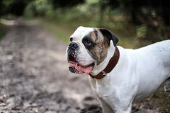 American bulldog close. American buldog close up with open mouth stock images