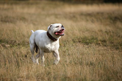 American bulldog in the grass Stock Photography