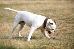 American bulldog and his ball Stock Images