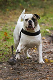 American bulldog looking at ball Royalty Free Stock Photo