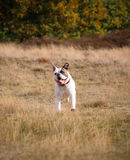 American bulldog running Stock Photos