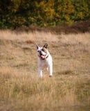 American bulldog running. After a ball Stock Photos