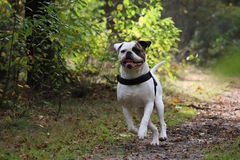 American bulldog running. American buldog running fast after a ball royalty free stock photos