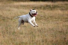 American bulldog running. American buldog running on the grass Royalty Free Stock Photos