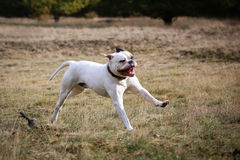American bulldog running on grass Stock Photography
