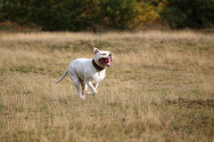 American bulldog running. Happy American buldog with a open mouth stock image