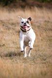 American bulldog running Stock Image